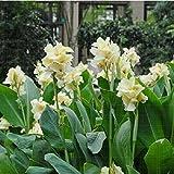 Blume Samen Bonsai Canna Lily Samen–Hermelin–Tropical Haus Plant–Weiß Blumen Garten Dekoration Getopfte 10seeds 1E
