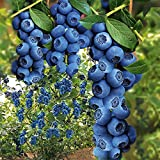 Qulista Samenhaus - 30pcs Selten Heidelbeere 'Hortblue®' Obstsamen Obstbaum mehrjährig winterhart feinaromatisch saftig für Balkon, Terrasse & Garten