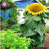 40 Stück Riesensonnenblumensamen, Riesen große Blumensamen, Top-Qualität Samen für zu Hause Gartenpflanzen Familie Köstliche Snacks annuus seed