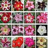 10 PC real Adenium obesum Semillas Semillas Desert Rose jardín de la flor de Bonsai Las plantas suculentas para la orden