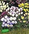 BALDUR-Garten Wildkrokusse, Botanische Krokusse Prachtmischung, 100 Zwiebeln, Crocus chrysanthus Mix von Baldur-Garten - Du und dein Garten
