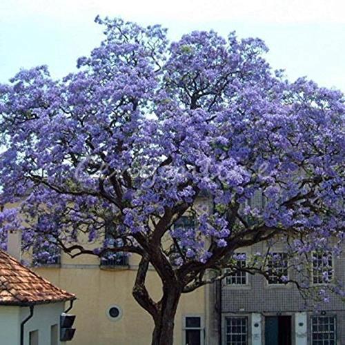 AGROBITS 50Pcs Wors am schnellsten wachsenden Baum Princess Hausgarten