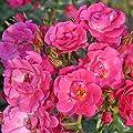 Kordes Rosen Kleinstrauchrose, Blühwunder 08, rosa, 12 x 12 x 40 cm, 280-31 von W. Kordes' Söhne bei Du und dein Garten