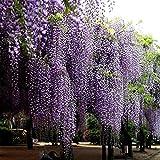 Glyzinie Baum Samen Pflanzensamen Hausgarten Pflanzen Blumensamen Multifunktions entzückende Blumen