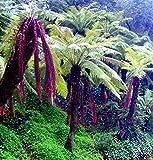 Future Exotics Australischer Baumfarn Dicksonia Antarctica winterhart, 2 Stück