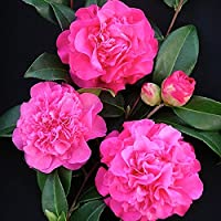 1 X CAMELLIA WILLIAMSII 'DEBBIE' BUSHY EVERGREEN SHRUB HARDY PLANT IN POT