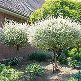 Dominik Blumen und Pflanzen, Japanische Harlekinweide Salix integra
