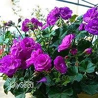 Vendita calda! Rosa Narcisi Semi Belle Semi Daffodil Clean Air Narciso Semi Piante da camera, 100 semi / Pack, # 3Y0YW8 - Bella Narciso