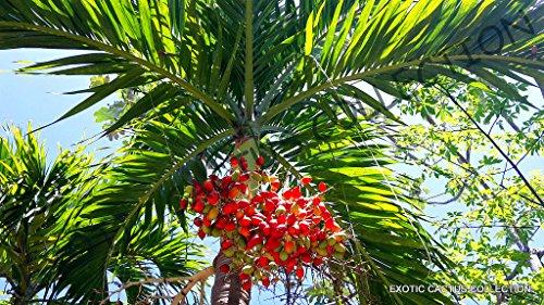 Samen Paket: Adonidia merrillii J Weihnachten Palm Exotie seltene Palmen Semi nsamen 5 Samen