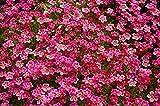 Saxifraga semi misti - Saxifraga arendsii
