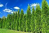 Heckenpflanze - Thuja occidentalis Smaragd - Pflanzhöhe 100-120cm - BALLENWARE (50)