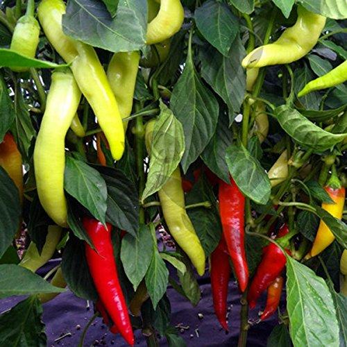 Süßes Chili zum Einlegen, Grillen, Frittieren - Sweet Banana - 30 Samen