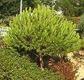 Seedeo® Mittelmeer Pinie (Pinus pinea) Pflanze 2 Jahre von Seedeo - Du und dein Garten