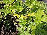 30 Stk. Waldsteinia ternata - (Walderdbeere - Golderdbeere - Waldsteinia)- Topfware Pflanzenbedarf: 8-10 pro m²