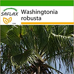 SAFLAX - Washingtonia Fächerpalme - 12 Samen - Mit Substrat - Washingtonia robusta