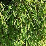 Gartenbambus Jiuzhaigou-1 60-80cm - Fargesia