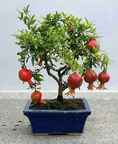 BEE Garden Organic Dwarf Pomegranate Fruit Bonsai Plant Seeds (Pack of 10)  available at amazon for Rs.189