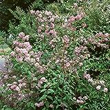 Pflanzenservice 210348 Maiblumenstrauch, Deutzia x hybrida Mont Rose, 1 Strauch, rosa blühend