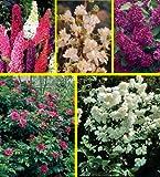 Amazon.de Pflanzenservice winterharte Dufthecke: 5 Pflanzen, je 1  Heckenrose, Jasmin, Flieder, Geißblatt und Sommerflieder rot,  2 Liter Container, Höhe 20 - 40 cm