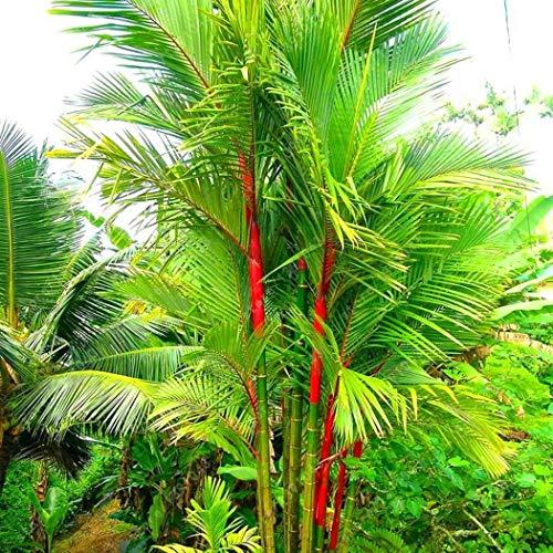Garten - 20 Samen Cyrtostachys Renda Palme Samen Bambus Samen Bonsai Tree Seeds Hausgärten ()