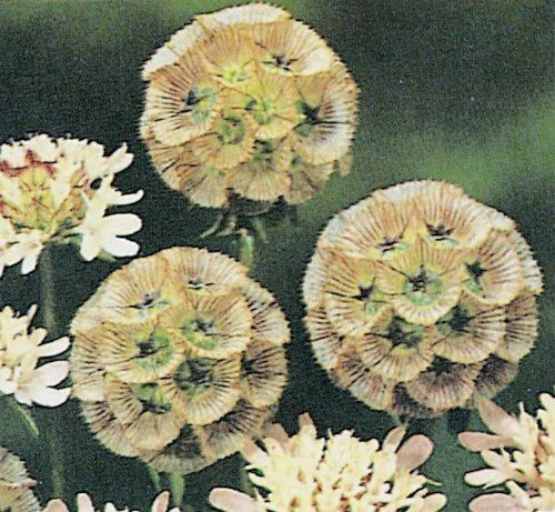 just-seed-flower-scabious-stellata-ping-ping-12-seeds