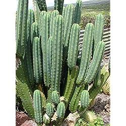 Semillas flor de cactus – Forma Gigante Planta suculenta perenne de flores
