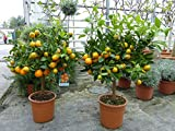 Calamondin Orangenbaum Citrus 80 - 90 cm Zitruspflanze