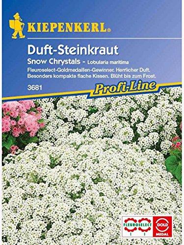 Lobularia maritima Duftsteinrich Steinkraut Snow Crystals