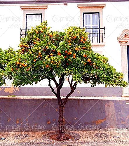 Shopmeeko 20 Teile/Beutel orange Bonsai kletternder orangenbaum Bonsai Organic Fruit Wie EIN Weihnachtsbaum-Topf für Hausgarten-Anlage