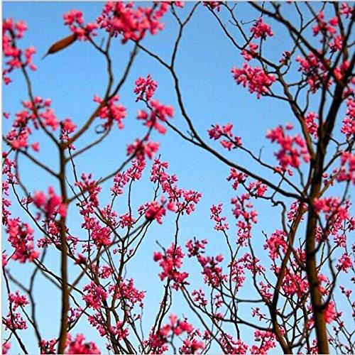 100Rot Creepers Wisteria Samen, Climb Rattan Blume Samen, Geschenke, Bonsai Pflanzen Blume Samen, für Home & Garden, (Rot 3 Stück, Creeper)