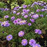 lichtnelke - Kissenaster (Aster dumosus LADY IN BLUE)
