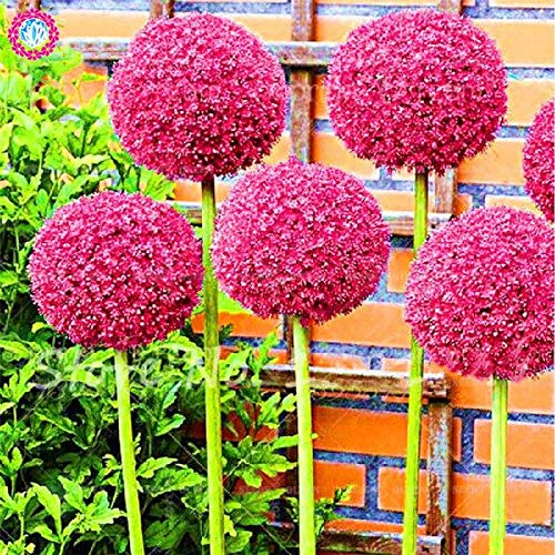 Elitely 30 Teile/beutel Riesige Allium Giganteum Bonsai Samen Blumen Zwiebeln Seltene Grne Organische Gemse Nicht Gmo Seedsing Topf: 3