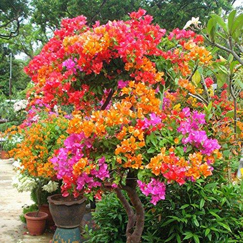 KimcHisxXv Bougainvillea Speetabilis Samen, 100 St¨¹cke Multicolor Bougainvillea Speetabilis Samen DIY Hausgarten Blume Pflanze