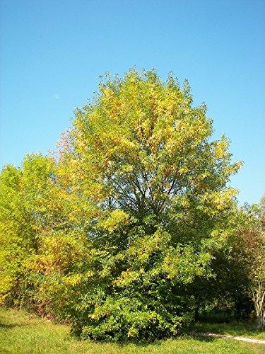 Blumen Esche / Manna-Esche (Fraxinus ornus) 100 Samen -Winterhart-