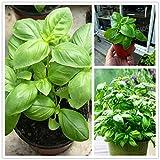 AGROBITS 300pcs / Grand sac feuilles de basilic frais flores plantas vert de lÃgumes ocimum Sps herbes...