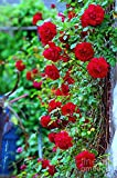 #6: Bee Garden Organic Beautiful Red Climbing Rose Flower Seeds For all Seasons and Weather Conditions
