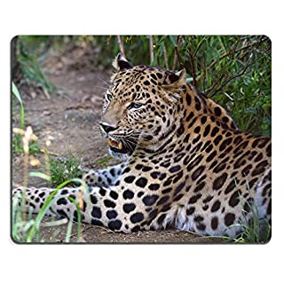 MSD Natural Rubber Gaming Mousepad IMAGE ID: 34964709 Amur leopard resting These are some of the rarest cats in the world Less than 40 remain in the wild and 180 in zoon worldwide