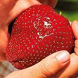 Yukio Samenhaus - 50 Stück Riesenerdbeeren Samen Großfrüchtig, Größte Erdbeere der Welt Obstsamen Garten winterhart (Rot)