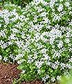 """BALDUR-Garten Weiße winterharte Isotoma """"White Splash"""",3 Pflanzen blühender Bodendecker von Baldur-Garten auf Du und dein Garten"""
