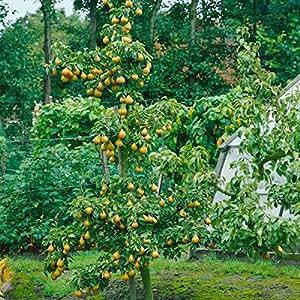 dominik blumen und pflanzen birne williams christ busch 1 pflanze garten. Black Bedroom Furniture Sets. Home Design Ideas
