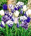 BALDUR-Garten Tulpen-Mix 'Blue Blend', 10 Zwiebeln von Baldur-Garten auf Du und dein Garten