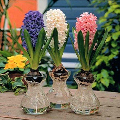 100 pcs / sac graines Hyacinthus Orientalis bon marché jacinthe graines en pot balcon herbes vivaces Bonsai fleurs pour le jardin de la maison 10