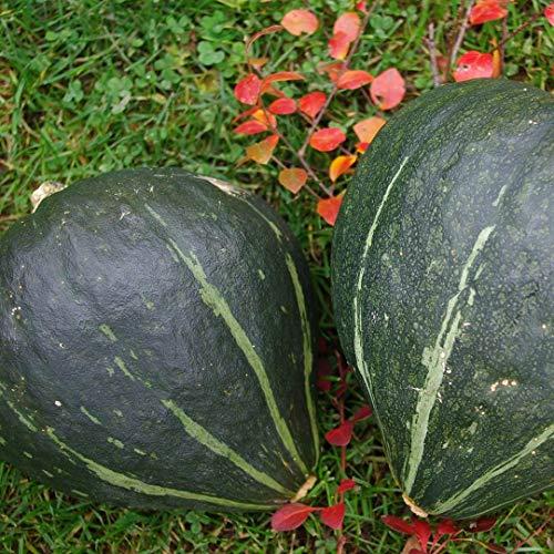 20 Samen Speisekürbis Green Jugin - Bio Saatgut von Culinaris