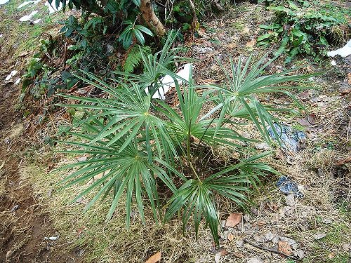 Washington Palme (Washingtonia filifera) 10 frische Samen (Winterharte Palme)