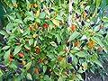 Numex Twilight 10 Samen *Mini-Chili* mit sehr guten Ertrag WOW ''' Ähnliches Farbspektakel wie die Bolivien Rainbow''' von Samenchilishop bei Du und dein Garten