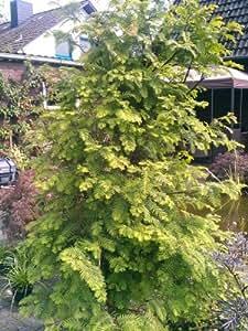 urwelt mammutbaum metasequoia glyptostroboides 80 100 cm hoch im 5 liter pflanzcontainer amazon. Black Bedroom Furniture Sets. Home Design Ideas