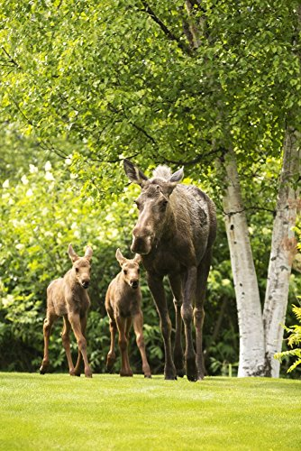 Doug Lindstrand / Design Pics – A cow moose (alces alces) with her calves on green grass with lush green foliage; Anchorage Alaska United States of America Kunstdruck (55,88 x 86,36 cm) (Green Anchorage)