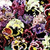 Pansy Can (Spring) 12 Mega Plants – Mixed Colours (12-)