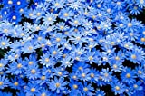 Flower Seeds : Blue Daisy Hardy Flower Seeds – Flower Seeds – Kitchen Garden Pack by Creative Farmer