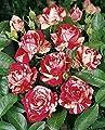 Rosen-Hochstamm 'Papageno' -R- im Container von Rosen-Union auf Du und dein Garten